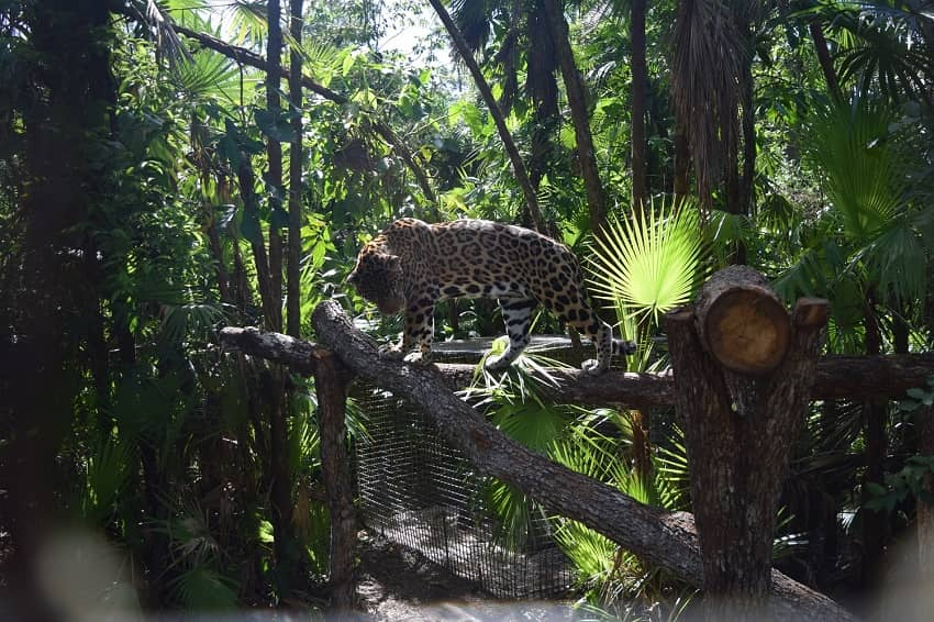 jaguar in it's natural habitat at the belize zoo in belize
