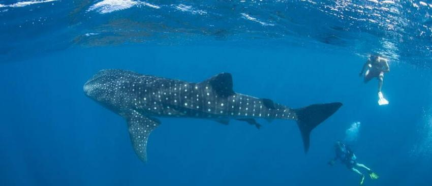 whale shark snorkeling & diving in belize